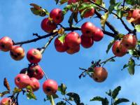 October Apples