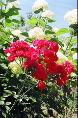 a climbing rose