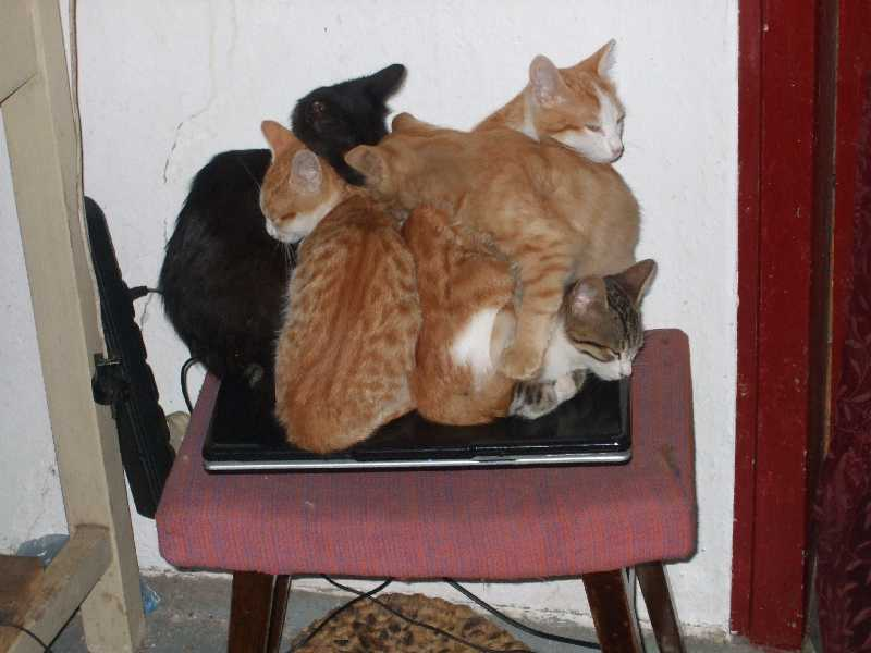 how many cats can you get on a laptop?